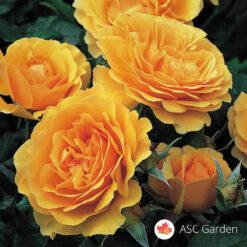 Ruža stablašica AMBER QUEEN