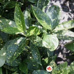 Aucuba jap. Crotonifolia
