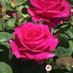 Ruža stablašica MARIA KALAS