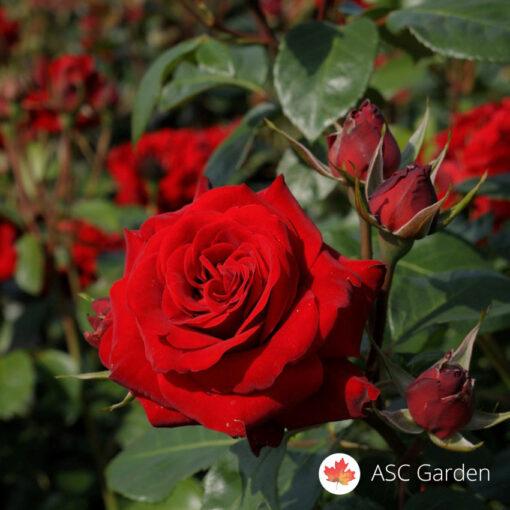 Ruža stablašica NIKOLO PAGANINI