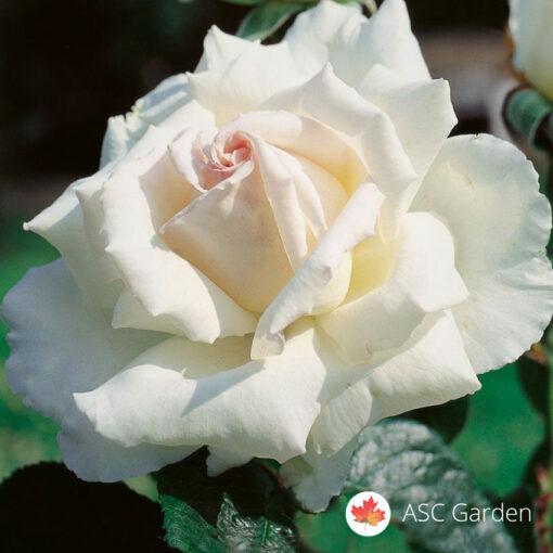 Ruža stablašica POKER