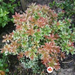 Pieris-japonica-Little-Heath