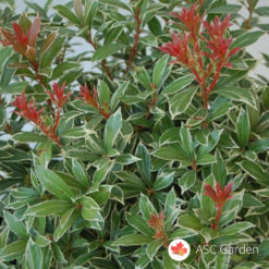 Pieris-japonica-Little-Heath
