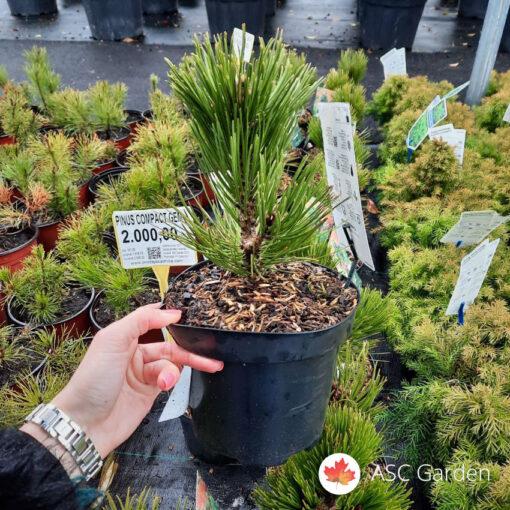 Pinus Compact Gem