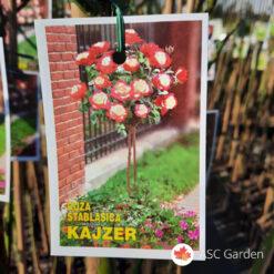 Ruža stablašica Kajzer