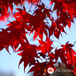 Acer palmatum atropurpureum - japanski javor