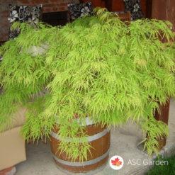 Acer palmatum dissectum - Reckavi javor