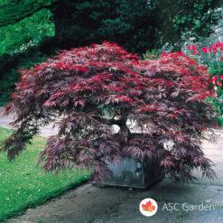 Acer palmatum dissectum Garnet - Reckavi javor