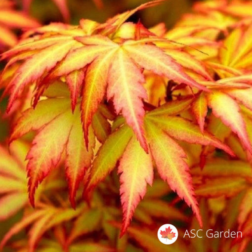 Acer palmatum Orange dream japanski javor