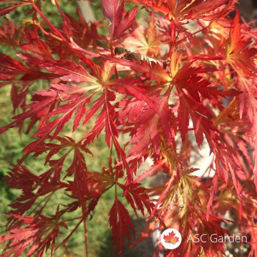 Acer palmatum seiryu - zmajev javor