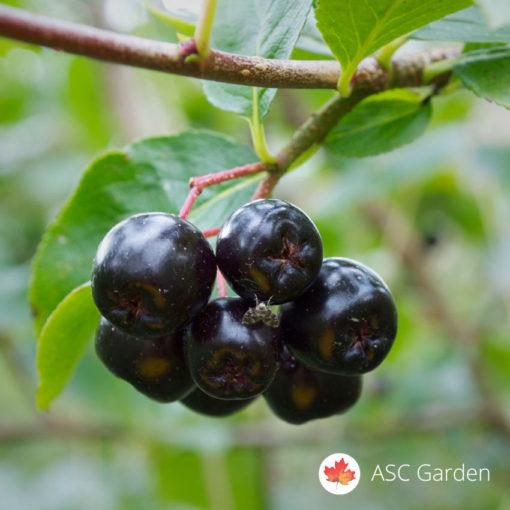 Aronia melanocarpa nero