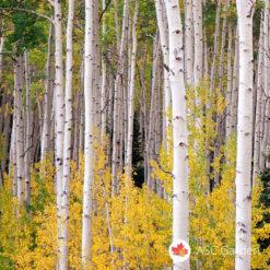 Bela breza Betula alba