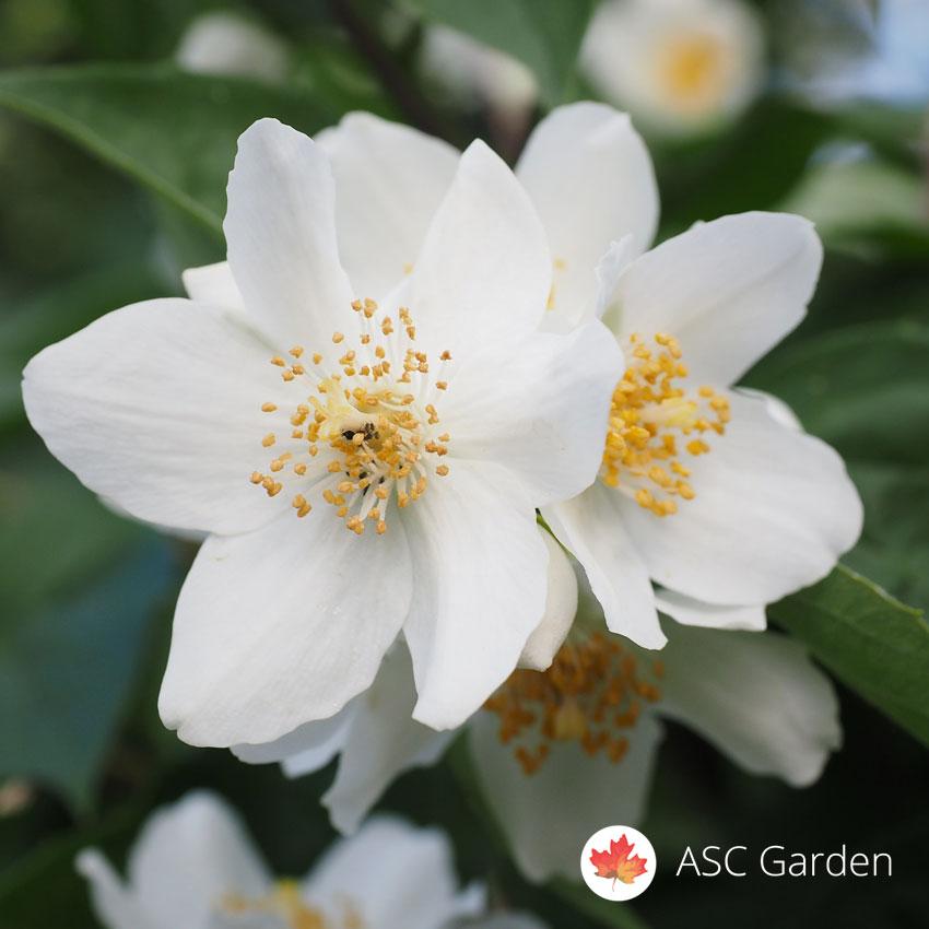 beli jasmin philadelphus prodaja i dostava sadnica jasmina asc garden. Black Bedroom Furniture Sets. Home Design Ideas
