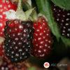 Boysenberry - Bojsenberi
