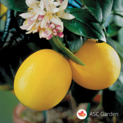 Sadnice limuna Citrus meyer