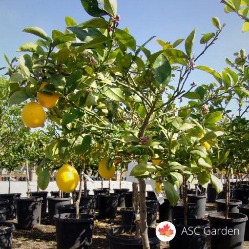 Limun Citrus meyer
