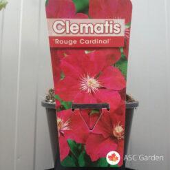 Clematis rouge cardinal