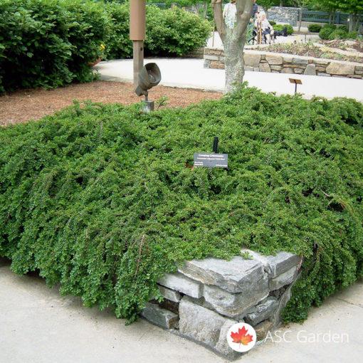 Cotoneaster dammeri Polegla dunjarica