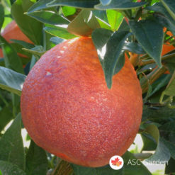 Crvena pomorandža Tarocco