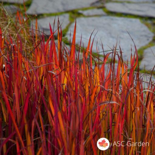 Crvena trava Imperata cylindrica Red Baron