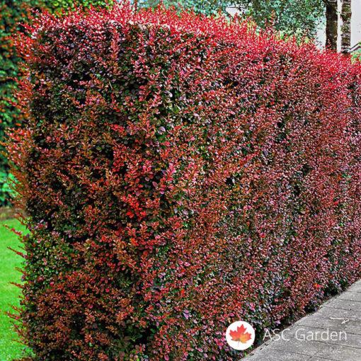 Crveni Berberis Thunbergii Atropurpurea