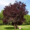 Crvenolisna šljiva Prunus pisifera Pisardi