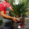 Cykas revoluta - Cikas palma - Sago palma
