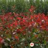 Fotinija Red Robin
