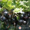 Fourberry