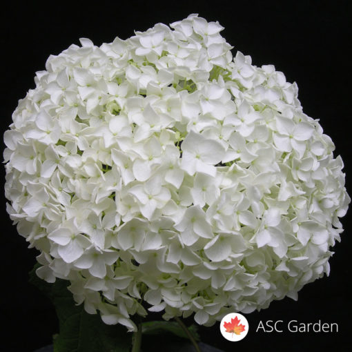 Hortenzija bela - Hydrangea arborescens Annabelle