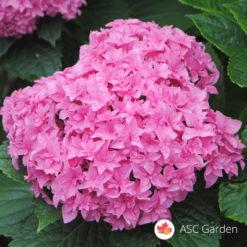 Hortenzija hydrangea roze