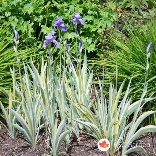 Šatirana perunika Iris Argentea Variegata