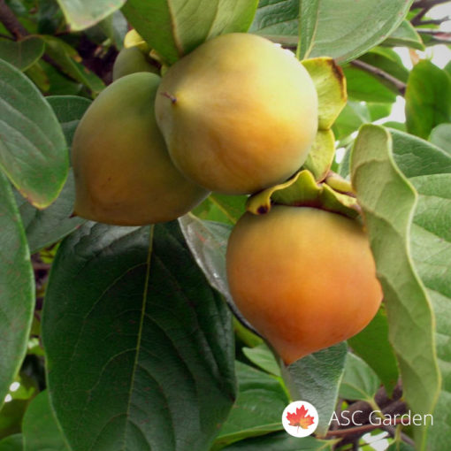 Japanska jabuka Diospyros kaki