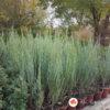Juniperus Blue Arrow plava kleka srebrna raketa