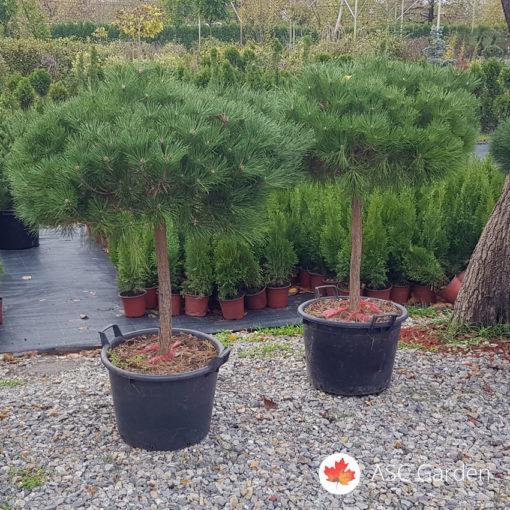 Kalemljeni patuljasti bor Pinus nigra Brepo®