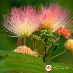 Kineska mimoza albicija - albizia julibrissin