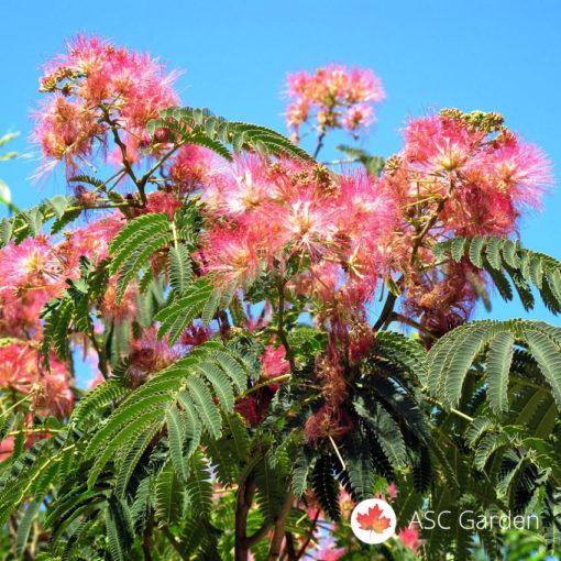 Kineska mimoza albizia julibrissin
