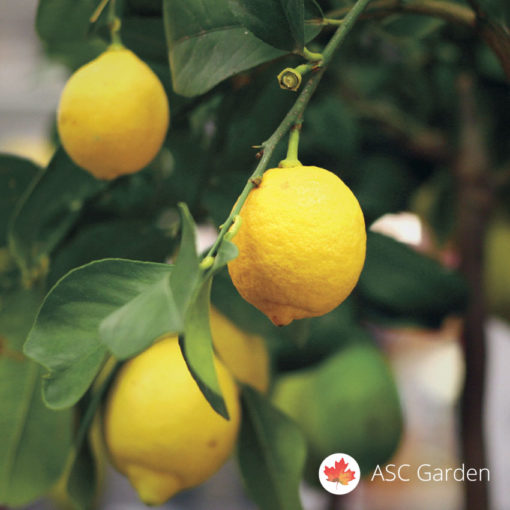 Limun mesečar