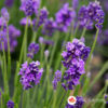 Sadnice Lavande - Lavandula angustifolia vera