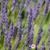 Lavanda - Lavandula angustifolia vera