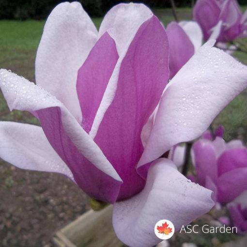 Ljubičasta magnolija