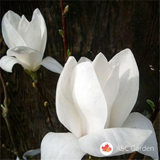Magnolia superba Bela magnolija