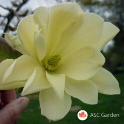 žuta magnolija
