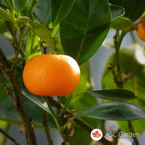 Sadnice mandarine Citrus reticulata