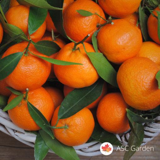Mandarina Citrus reticulata