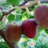 Mini crveni kivi - Purpurna sadowa