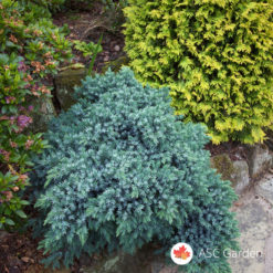 Mini plava kleka Juniperus blue star
