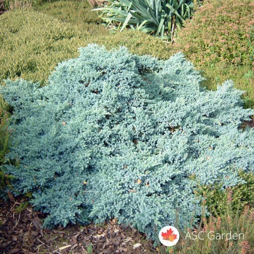 Mini plava kleka Juniperus blue star