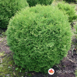 Thuja occidentalis Tiny Tim mini tuja