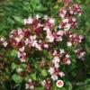 Origano - Origanum vulgare Wilder Majoran